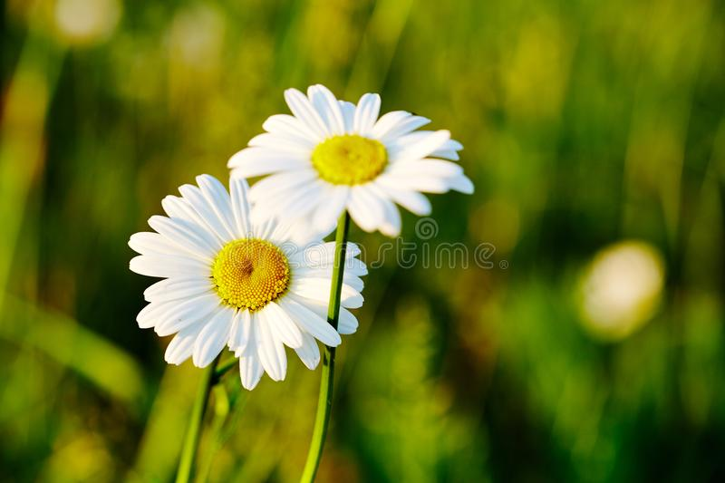 Spring meadow sun - camomile. Photo for backgrounds, desktop, cover. Spring meadow sun - camomile. Close-up. Perfect photo for backgrounds, desktop and cover royalty free stock image