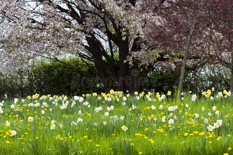 Spring meadows. Flowers on the spring meadows with cherry tree in the background stock photos