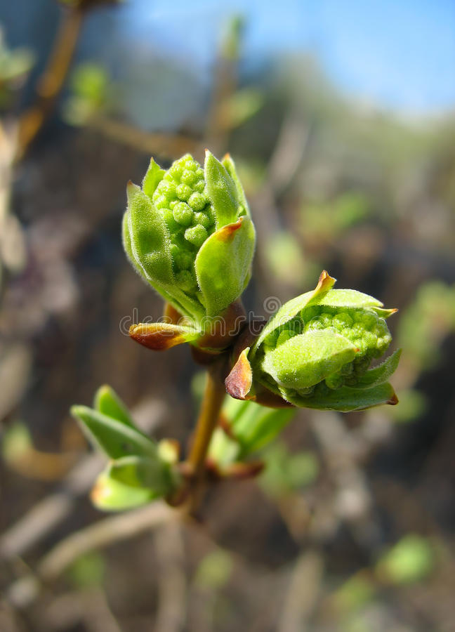 Spring. Melting lilac buds stock images