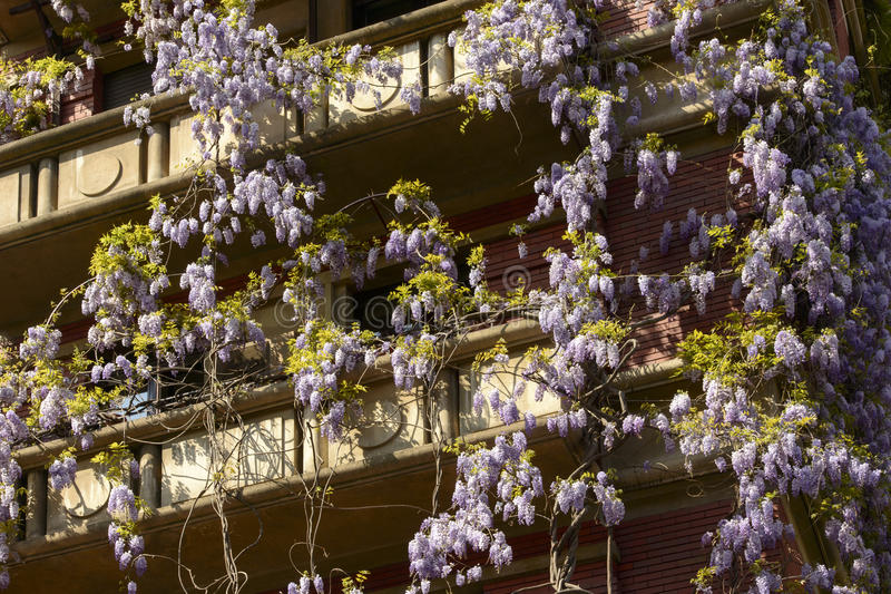 Spring in Milan, blossoming wisteria #02 royalty free stock image