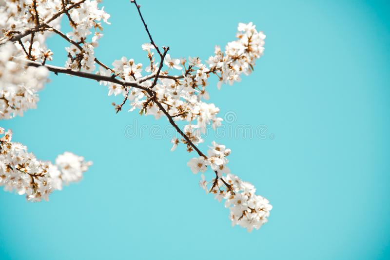 Spring mood. Fresh blue background with white blooming cherry flowers for the holidays royalty free stock photography