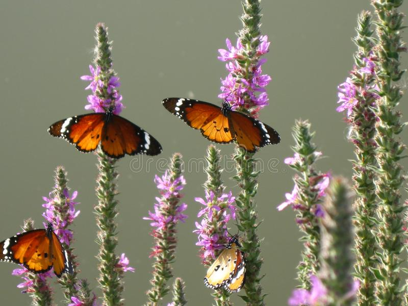 Butterflies on a plant in their natural habitat stock photo