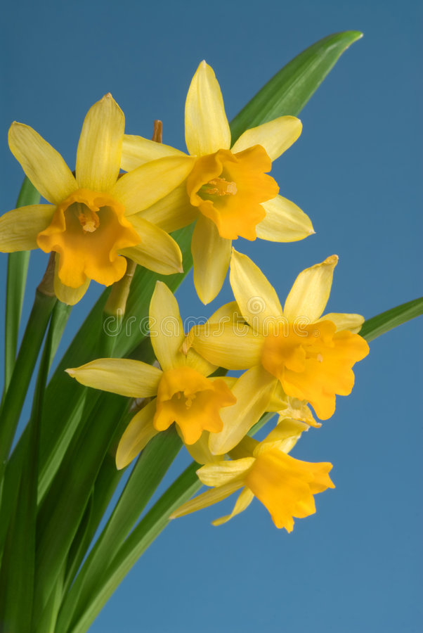 Download Spring Narcissus Royalty Free Stock Photos - Image: 8177038