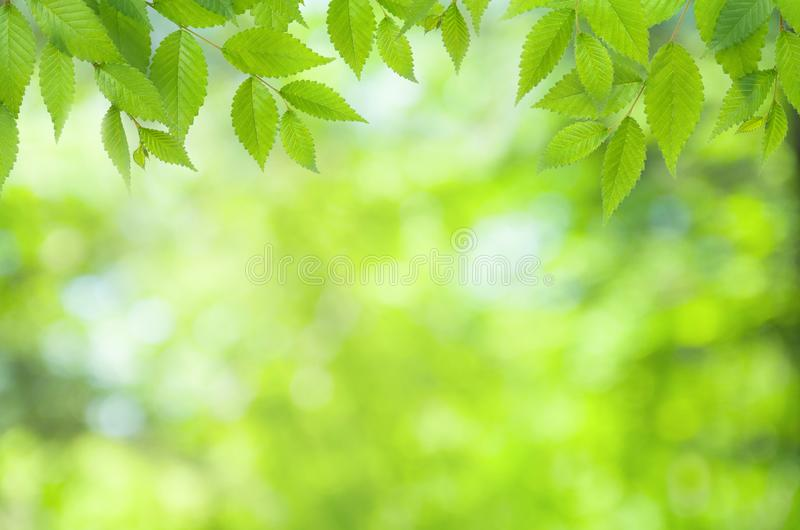 Spring natural blurred background with green leaves on tree branch, copy space, defocused. Spring natural blurred background with green leaves on tree branch stock photography