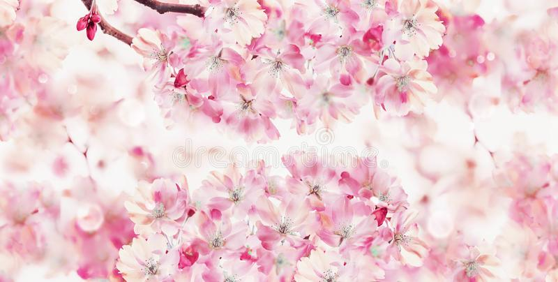 Spring nature background with pink blossom of cherry trees. Springtime nature . Sakura blooming. Banner or template royalty free stock photo