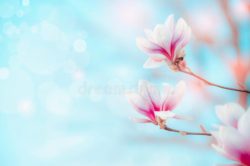 Spring nature background with pretty magnolia blooming at blue sky with bokeh. Springtime outdoor concept. Magnolia tree blossom stock photo