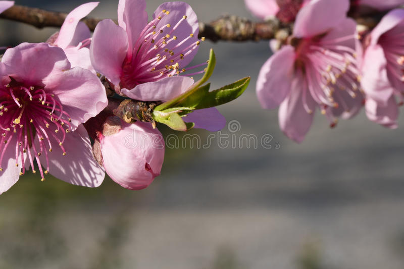 Spring nectarine colorful pink flowers pistils tree blooming. Close up of spring nectarine colorful pink flowers tree blooming in sunlight stock photo