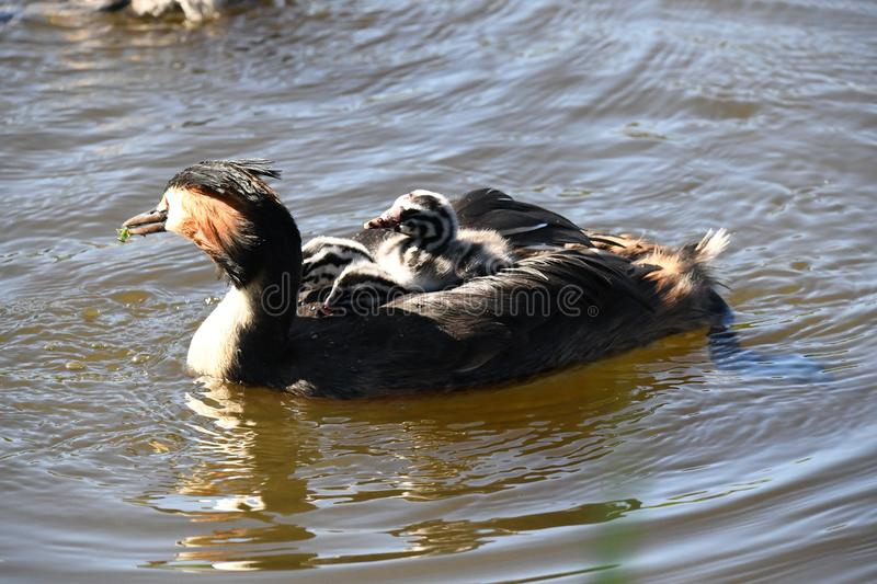 Spring 2018 in the netherlands, grebe with jung ones on her back stock photo