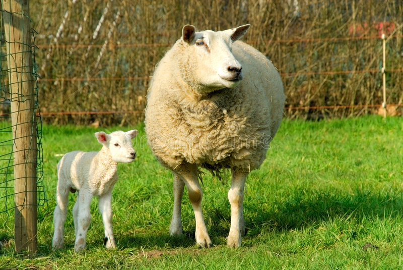 Spring, new born lambs stock image