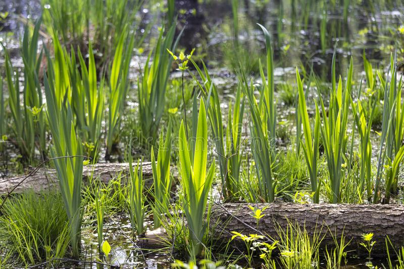 In spring, the new green sprouts out over all of it. Here is a swamp in which the irises sprout and soon bloom stock photography