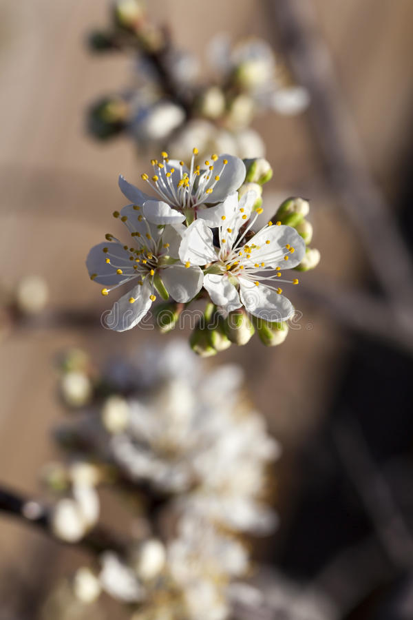 Spring - New growth and flowers on a Mexican Plum tree stock photos