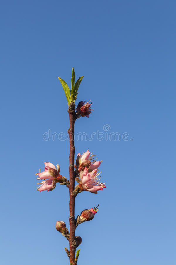 Spring - New growth and flowers on Peach tree royalty free stock photos
