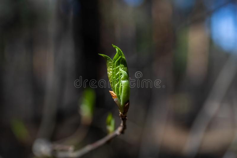 In the spring, a new life begins in nature, buds open and flowers bloom.  stock images
