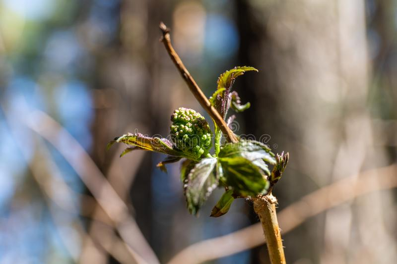 In the spring, a new life begins in nature, buds open and flowers bloom stock photography