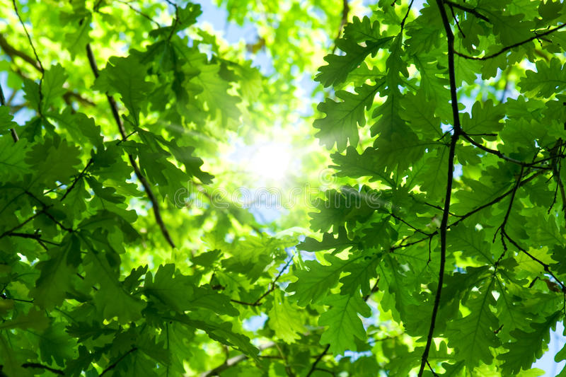 Spring oak tree. Spring . Green leaves of tree and sky stock images