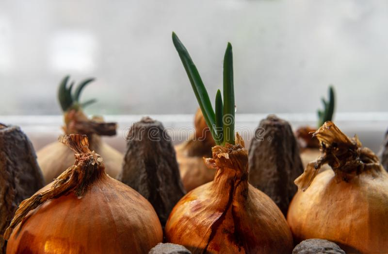 Spring onions growing in a carton egg box on the windowsill. Close up. Water drop stock photos