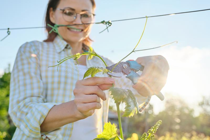 Spring outdoor portrait of mature woman working in vineyard, female with pruner forms grape bushes stock photography