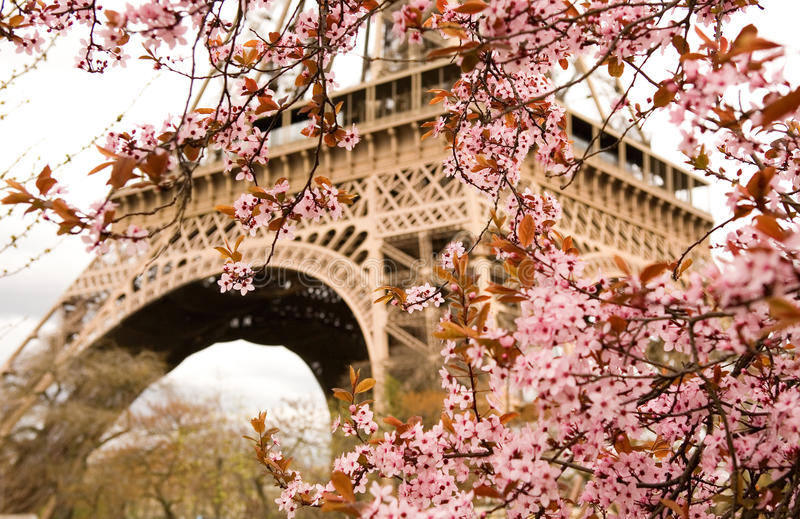Spring in Paris. Bloomy cherry tree and the Eiffel Tower. Focus on flowers royalty free stock photo