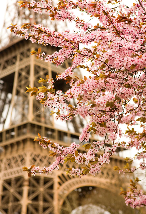 Spring in Paris. Bloomy cherry tree and the Eiffel Tower. Focus on flowers stock images