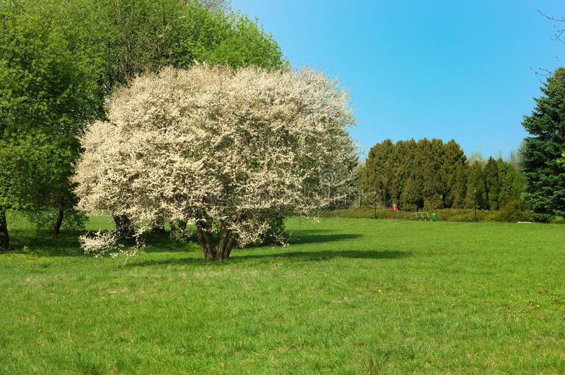 Spring park. And blossoming trees stock images