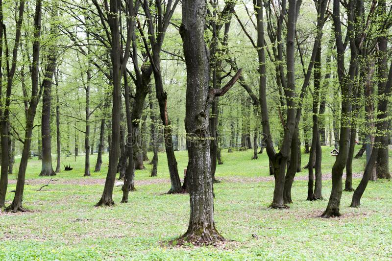 Spring in the park. Spring park green nature wood tree trees stock image