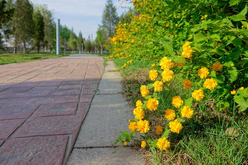 Spring park. The landscape of spring park with yellow flowers of Kerria japonica royalty free stock photo