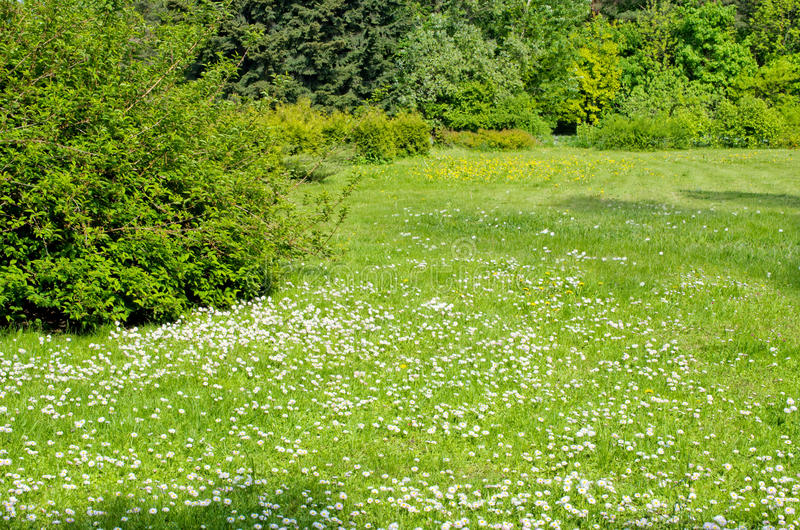 Spring park. Meadow with daisies and dandelions royalty free stock photos