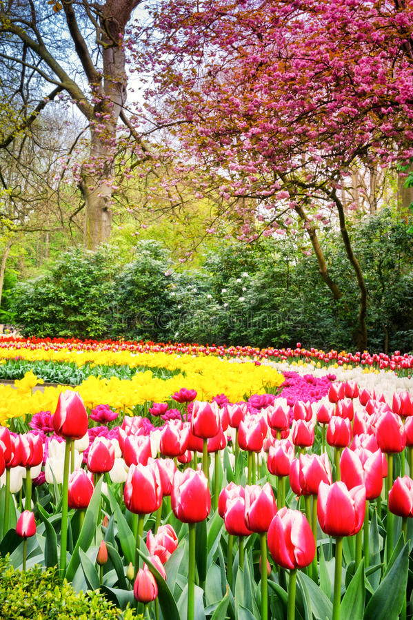 Spring park with multicolor tulips. Keukenhof garden, Netherlands. Spring park landscape with multicolor tulips. Keukenhof garden, Netherlands stock photography