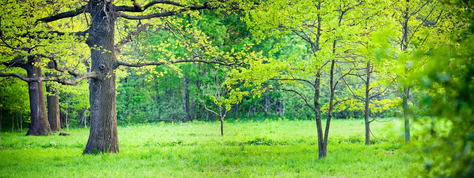 Spring park with oak royalty free stock photography