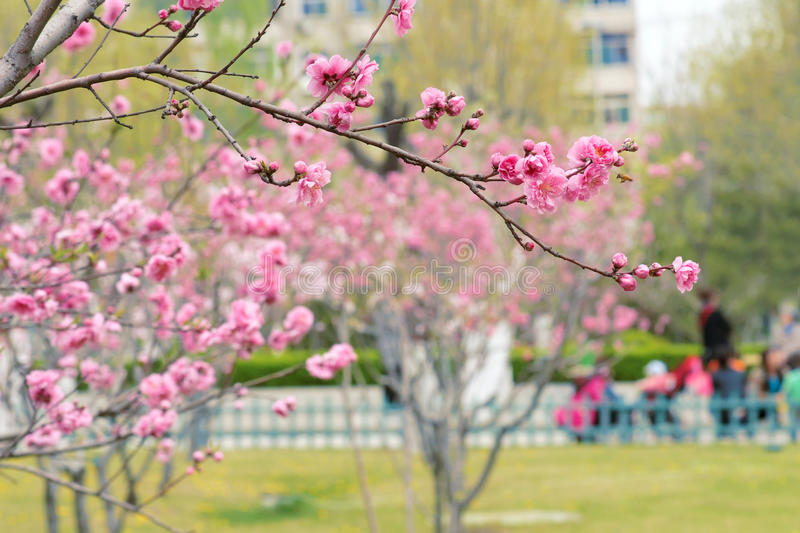 Spring park. The peaches are blooming in spring park stock photos