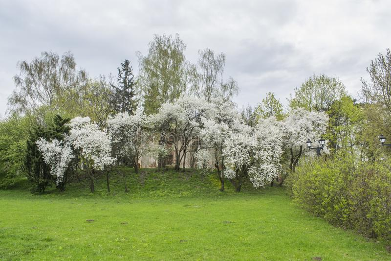 Spring in the park. Flowering trees Minsk Belarus stock photo