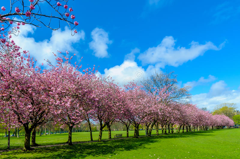 Spring path in park with cherry blossom and pink flowers. Spring path in the park with cherry blossom  pink flowers, visible green grass and path, blue sky stock photo