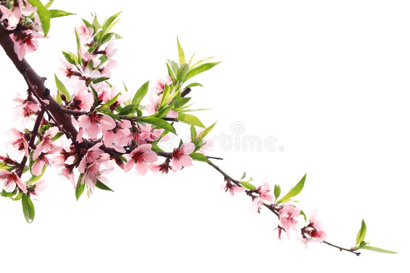 Spring peach blossom royalty free stock images