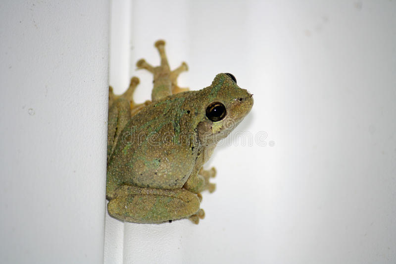 Spring Peeper -Pseudacris crucifer stock photo