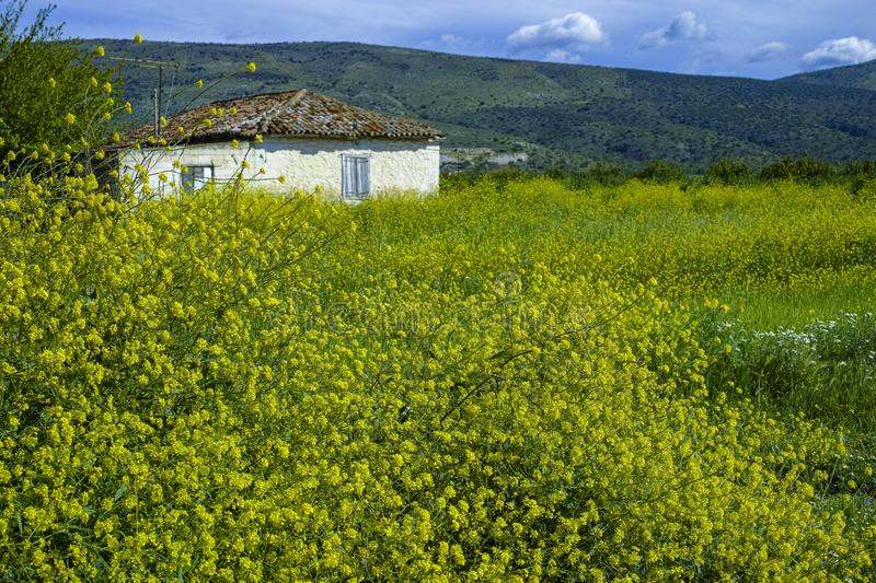Spring on Peloponnese, Greece, wild yellow flowers and small white farmers house stock image