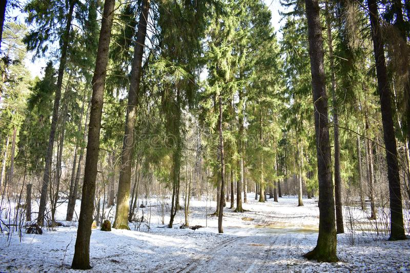 Spring phenomena in the coniferous and deciduous forest. Spring changes in the forest relate primarily to snow cover royalty free stock image