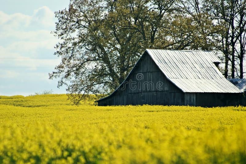 Barn in a Field of Rapeseed royalty free stock images