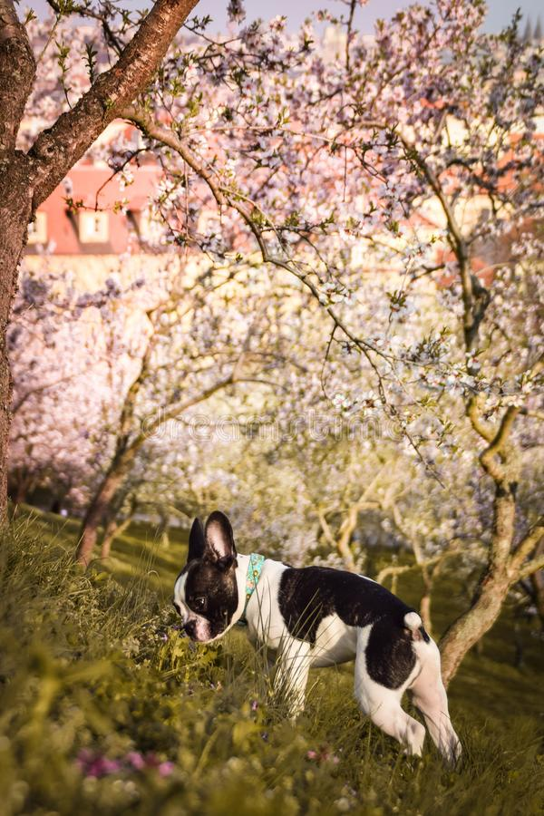 Spring photo of puppy in Prague royalty free stock photos