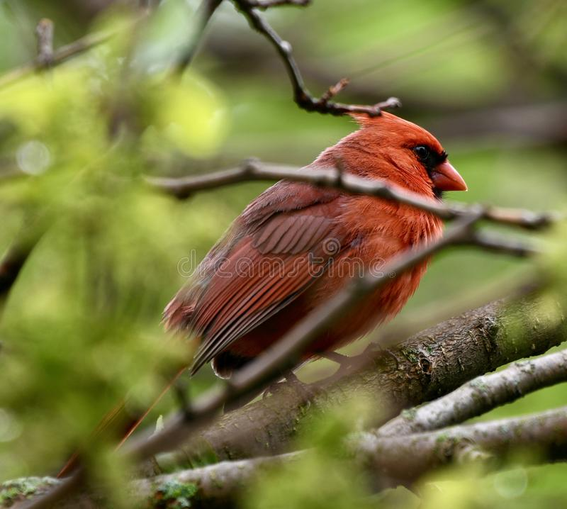 Male Northern Cardinal. This is a Spring picture of a male Northern Cardinal bidding in a hedge in the Montrose Point Bird Sanctuary on Lake Michigan located in royalty free stock photo
