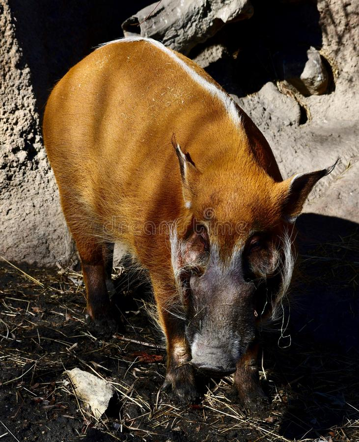 A Red River Hog 1. This is a Spring picture of a Red River Hog in its compound at the Lincoln Park Zoo located in Chicago, Illinois in Cook County. This picture stock images