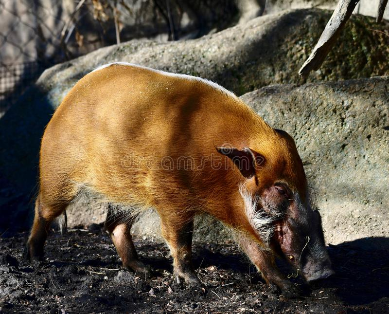 A Red River Hog 2. This is a Spring picture of a Red River Hog in its compound at the Lincoln Park Zoo located in Chicago, Illinois in Cook County. This picture royalty free stock image