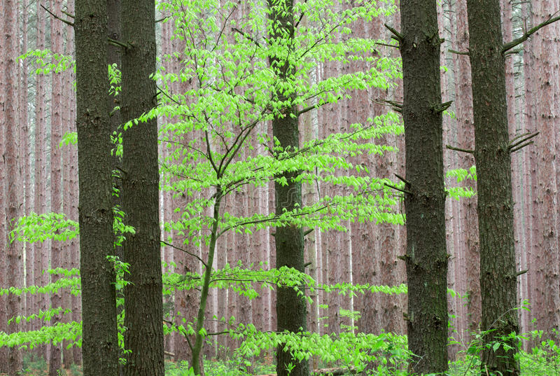 Spring, Pine Forest stock photo