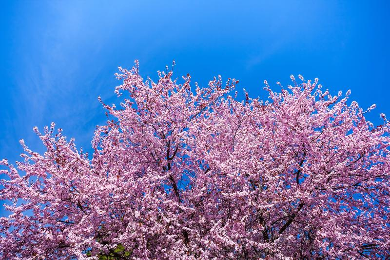 Spring Pink Cherry Blossoms with Blue Sky Background royalty free stock photo