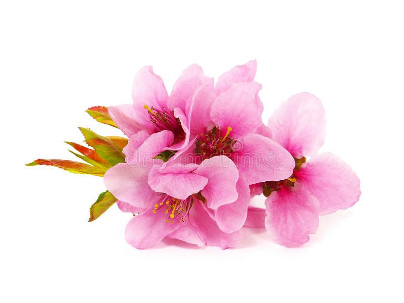 Spring pink flower bouquet, peach blossom stock image