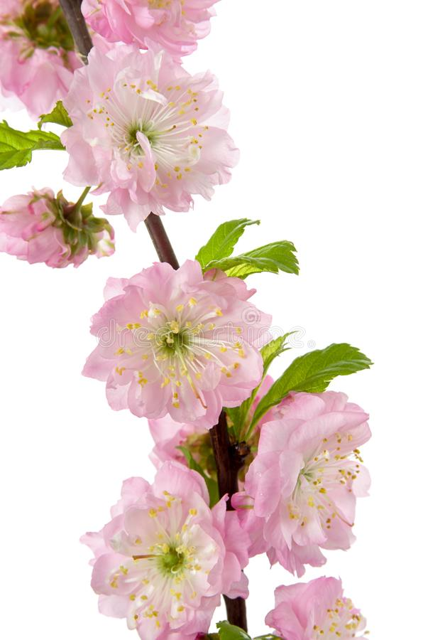 Spring pink flowering almond tree with fresh flower and leaves isolated on white background, close-up stock images
