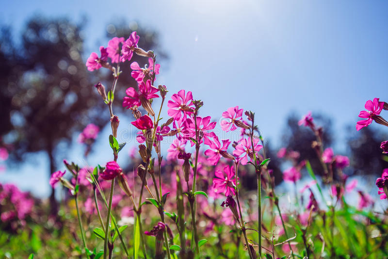 Spring pink flowers. Fields of pink flowers in the sun.Natural blurred background stock image