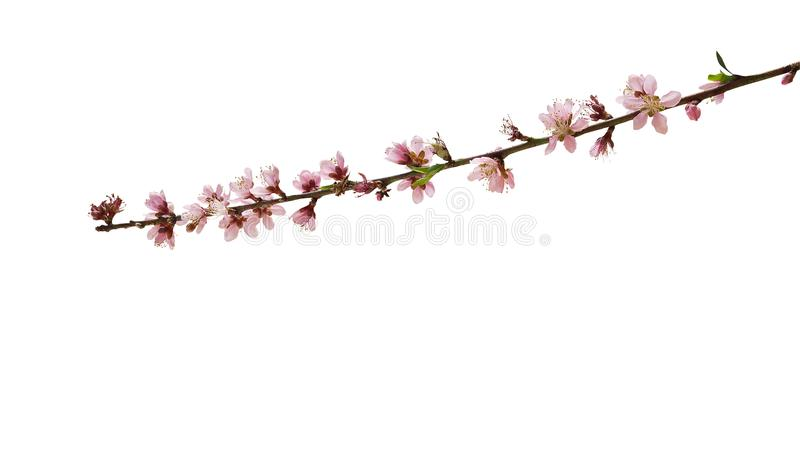 Spring pink peach flowers bloom on its straight branch isolated stock images