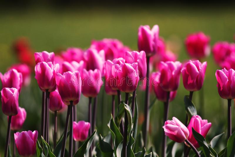 Spring pink tulips flowers background.Colorful tulip field. stock images
