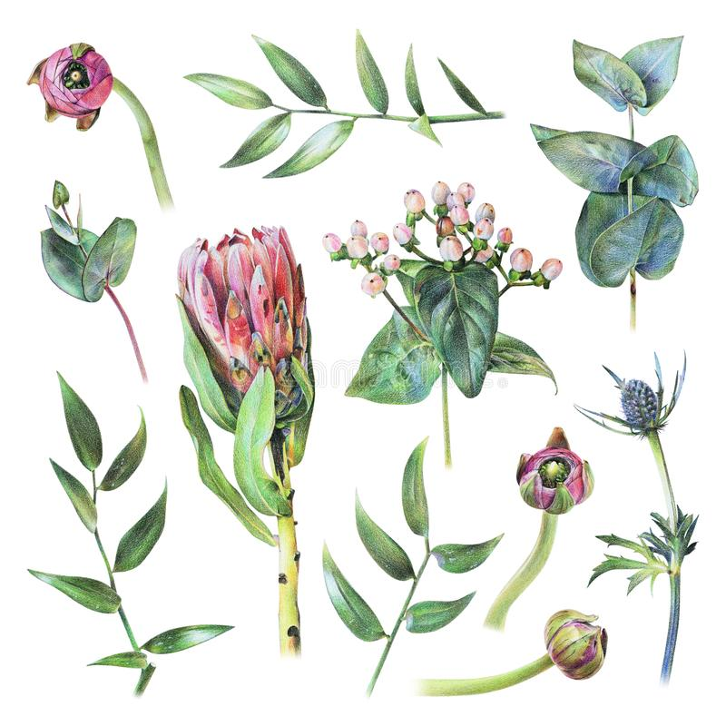 Set of protea, feverweed, hypericum, buttercup buds, eucalyptus and green leaves drawn by hand with colored pencil stock illustration
