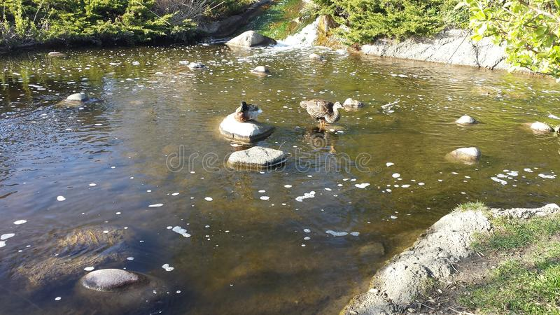 Spring pond with ducks in Illinois royalty free stock images
